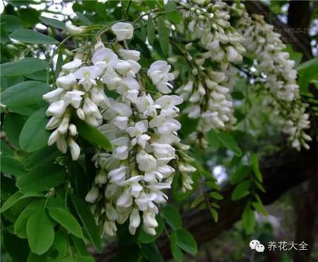 刺槐花:白色