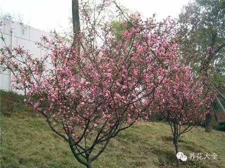 垂丝海棠:枝条向四周伸展