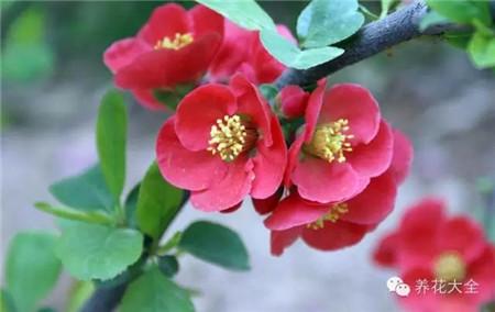 贴梗海棠花:无花柄