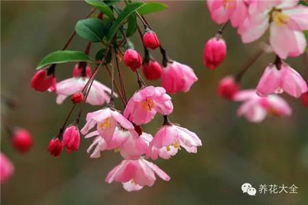 垂丝海棠花:花开向下