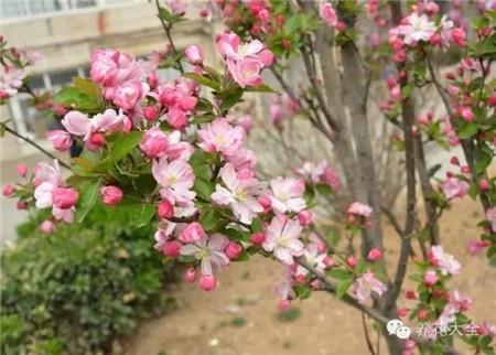 西府海棠花:花开向上