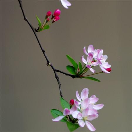 垂枝海棠的养殖方法