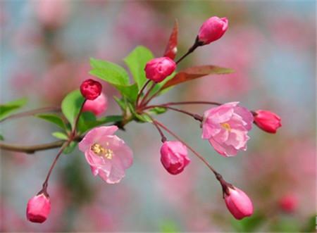 垂枝海棠的养殖注意事项