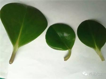 选择豆瓣绿枝干中下部比较强壮的叶子
