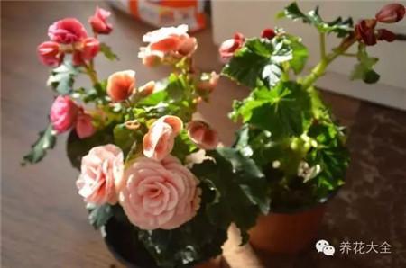 六、四季海棠、丽格海棠叶插