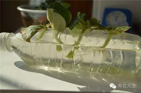 叶片放入塑料瓶瓶身的孔里
