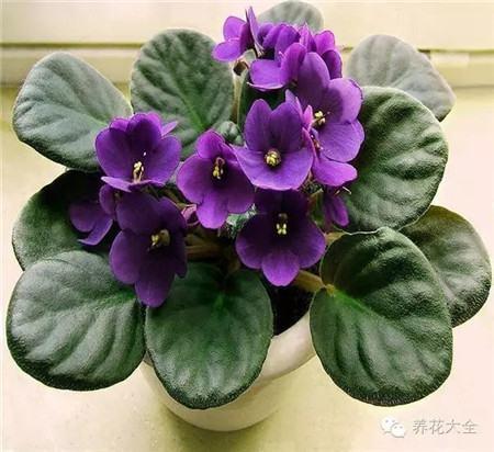 七、非洲紫罗兰(非洲堇)