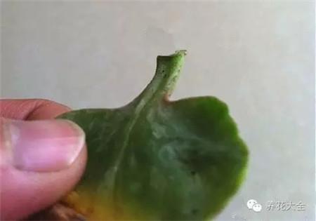 把长寿花的叶片摘下来