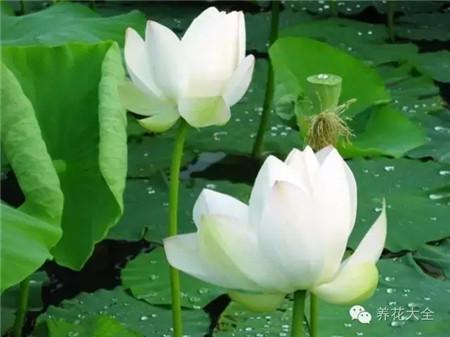 莲花舒缓加强淡化效果