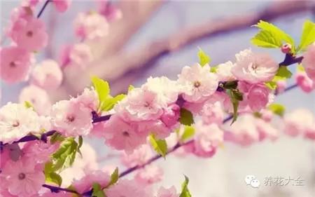 樱花有效收紧毛孔