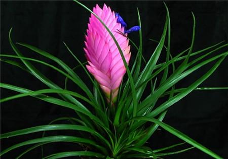 紫凤梨的养殖方法