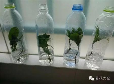 三、塑料瓶枝条扦插法