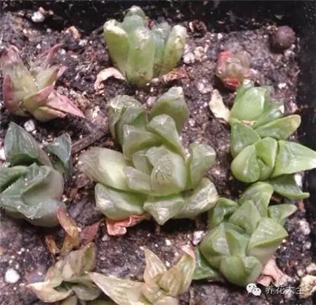玉露水培可加速生根