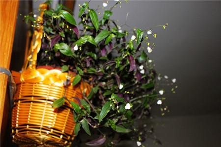 婚纱吊兰水培:容器的选择