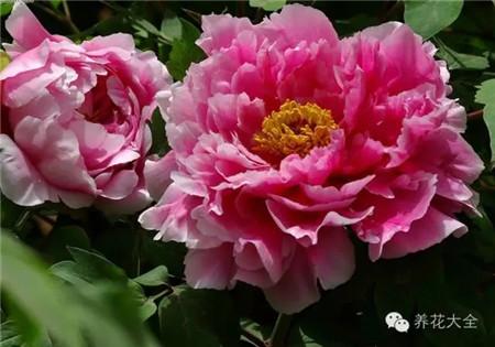 牡丹花养护要点: