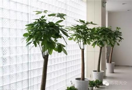 发财树养护要点: