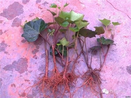 扦插生根的常春藤
