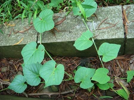 粉藤的养殖方法