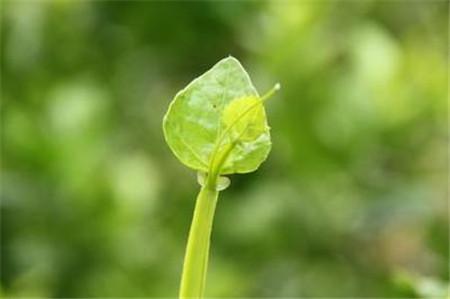 粉藤的的养殖注意事项