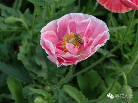 虞美人花朵