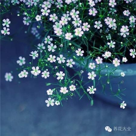 滿天星花朵