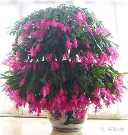 蟹爪蘭開花