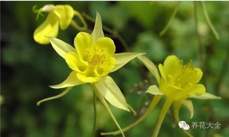 黄色耧斗菜