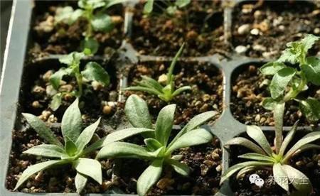露薇花繁殖