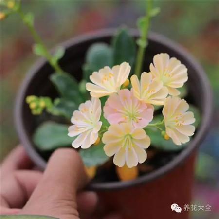 露薇花的繁殖方式