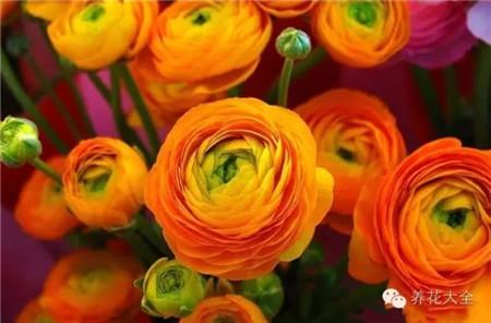 花毛茛美图欣赏