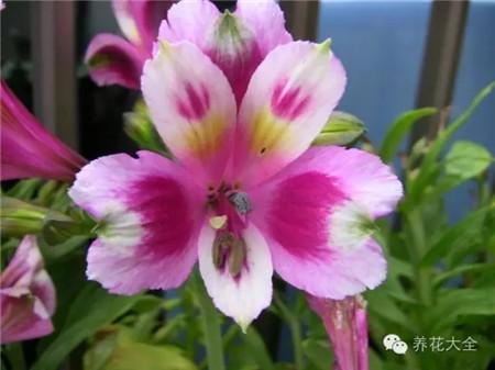 六出花繁殖