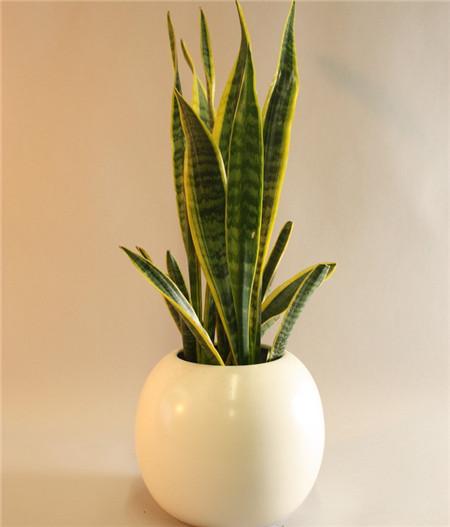 醋能不能吸收甲醛_吸甲醛的植物得看这7种-花百科