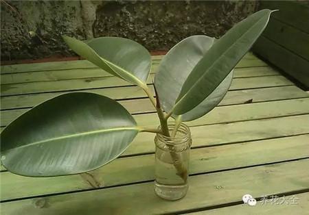 橡皮树水插生根
