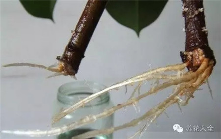 橡皮树的养护