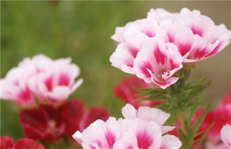送春花的养殖方法
