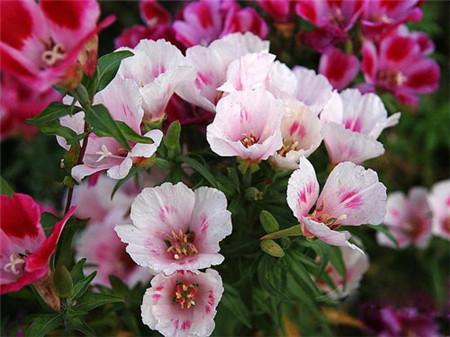 送春花的养殖注意事项