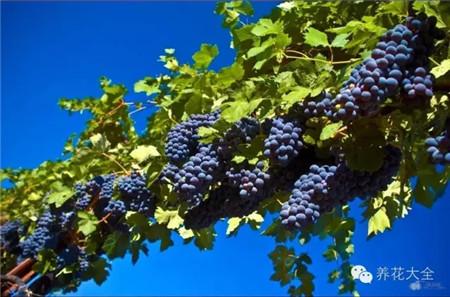冬季剪枝葡萄