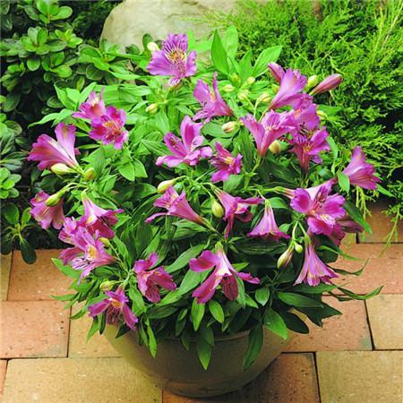 六出花的养殖注意事项