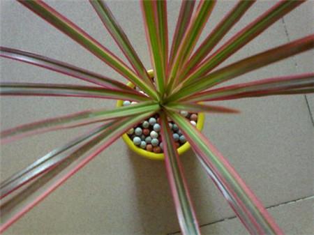 三色千年木的养殖方法