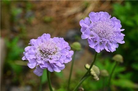 蓝盆花的养殖方法