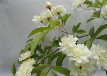 木香花的养殖注意事项