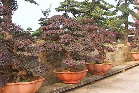 红花继木的养殖注意事项