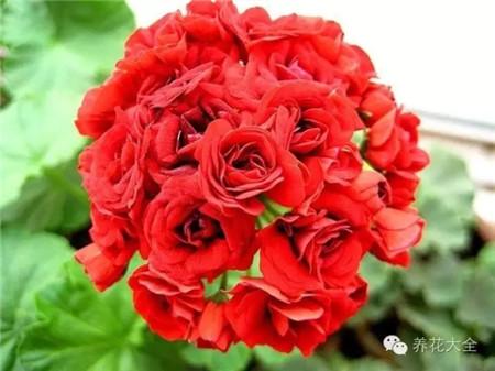 o朱红玫瑰蕾