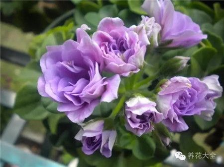 o夏日玫瑰