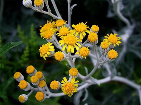 白布菊的养殖方法