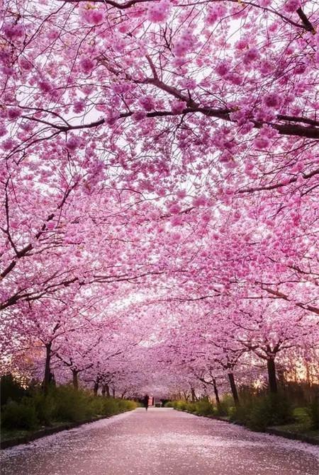 日本的樱花路