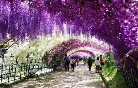 日本紫藤隧道