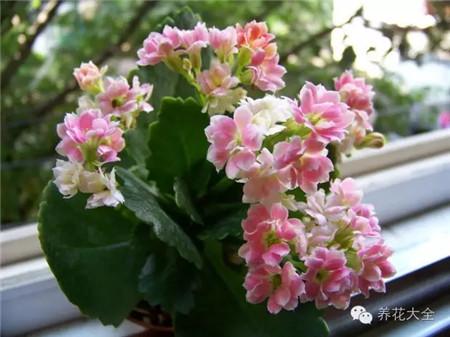 艳丽的长寿花