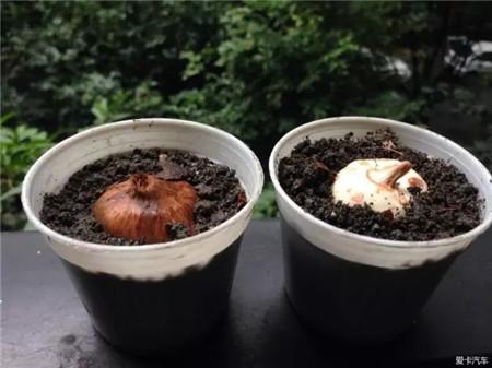 种球种植到盆土中