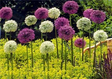 大花葱种植